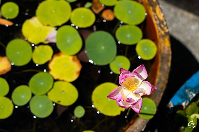 Colours lotus flower and water lilies architecture asia building colours lotus flower and water lilies architecture asia building daisyoin flower mightylinksfo