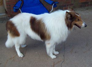 Taye New 7 Years Old Is An Adoptable Collie Dog In Houston Tx