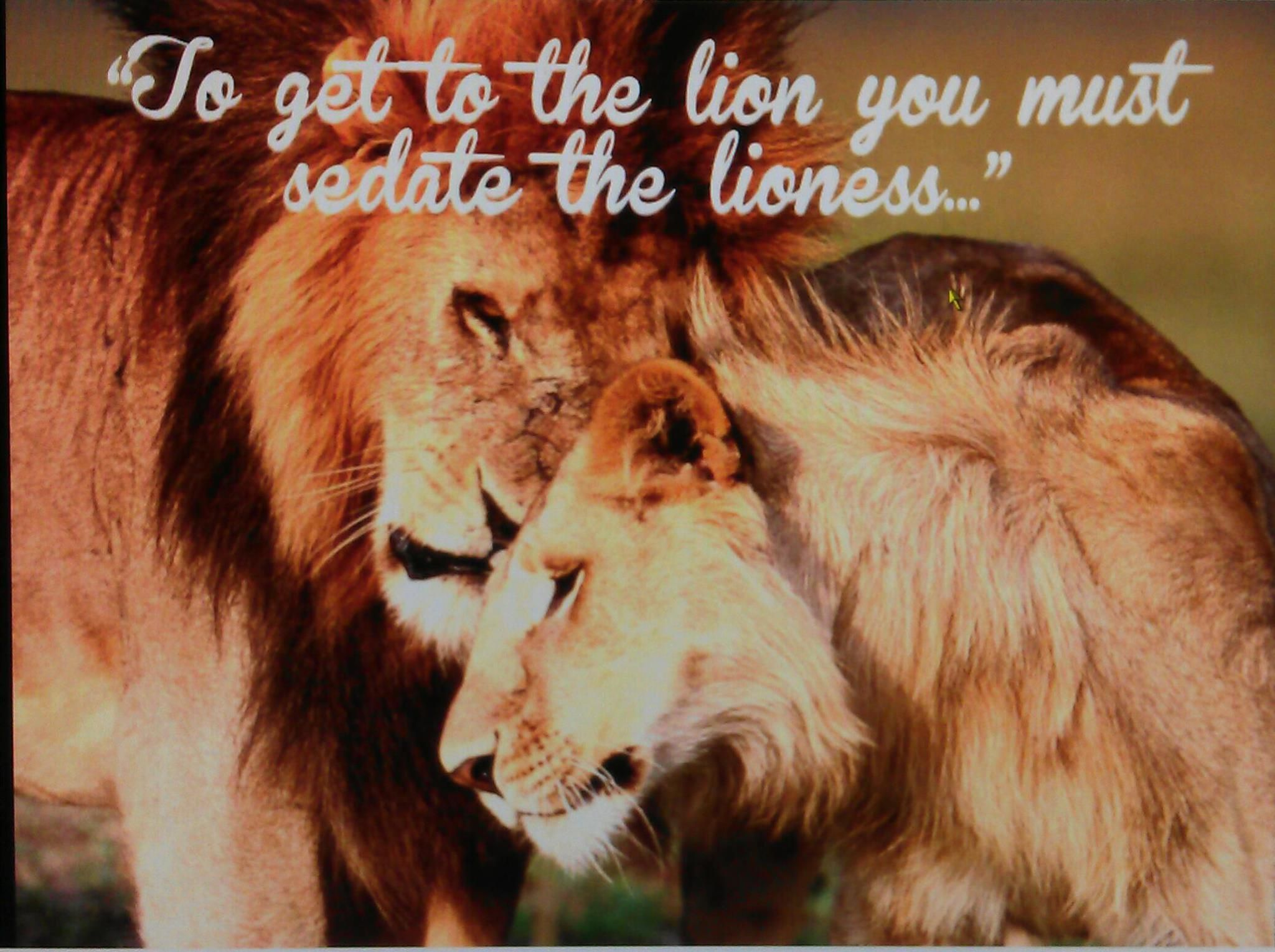 Image Gallery lion lioness relationship quote