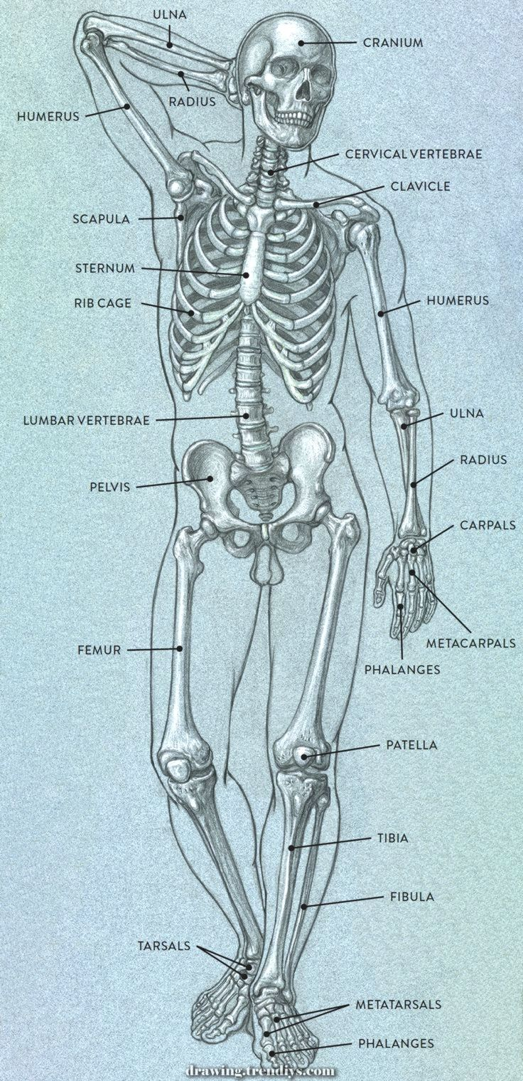 Amazing Bones And Floor Landmarks Of The Basic Human Anatomy In Movement Artistss The Greatest B In 2020 Human Anatomy Art Human Anatomy Drawing Human Body Art