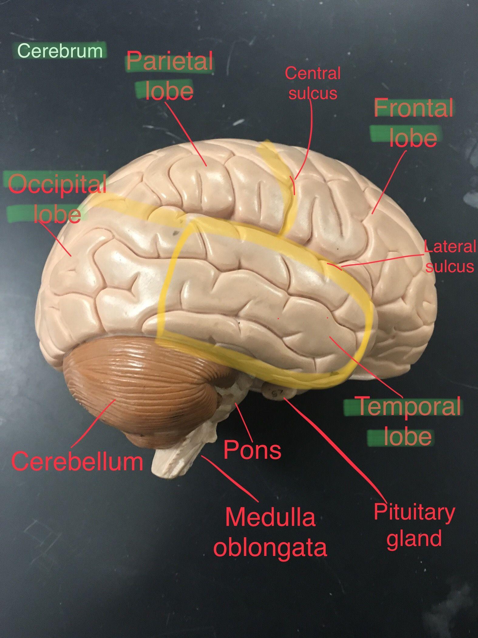 Brain lobes - labeled | Brain lobes, Occipital lobe, Occipital