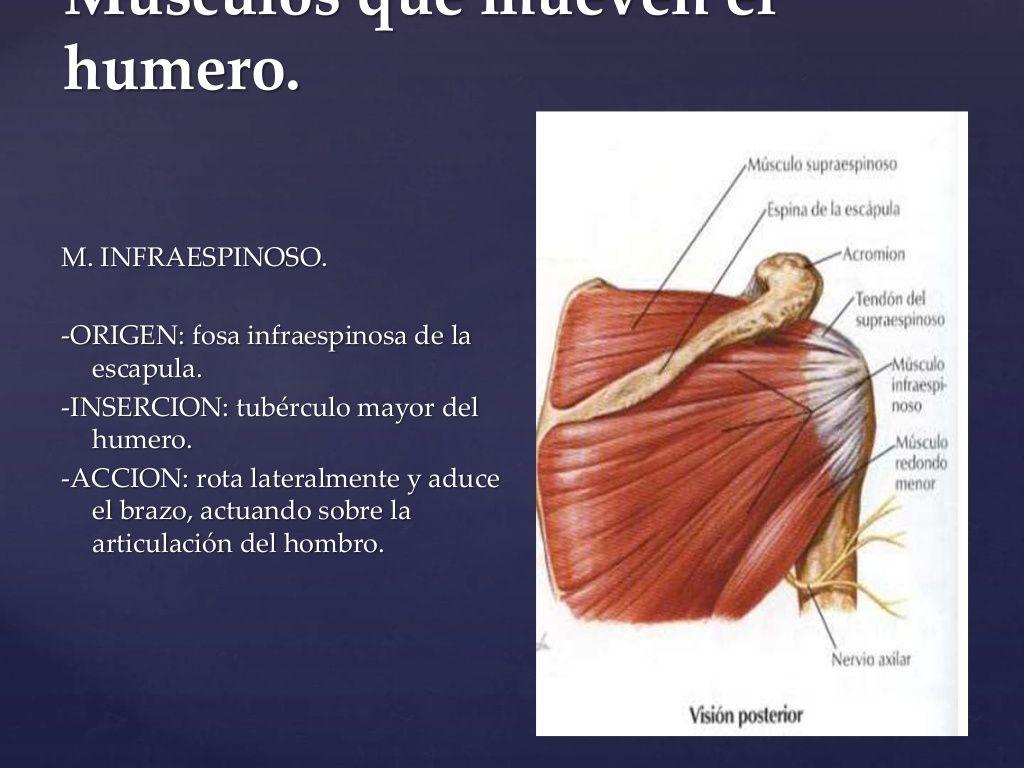 Músculos que mueven el humero. M. INFRAESPINOSO. -ORIGEN: fosa ...