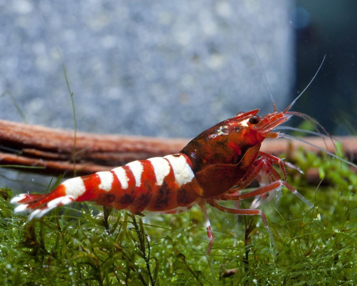 Live Aquarium Plants Online Sale Rare Moss Anubias Etc Australia Cherry Shrimp Shrimp Shrimp Tank