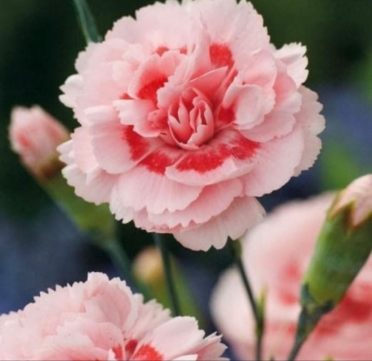 Carnations In 2020 Carnation Flower Pink Plant Flowers For Sale