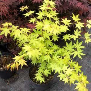 Photo de  Erable du Japon (Acer palmatum) Summer Gold existe en plusieurs tailles