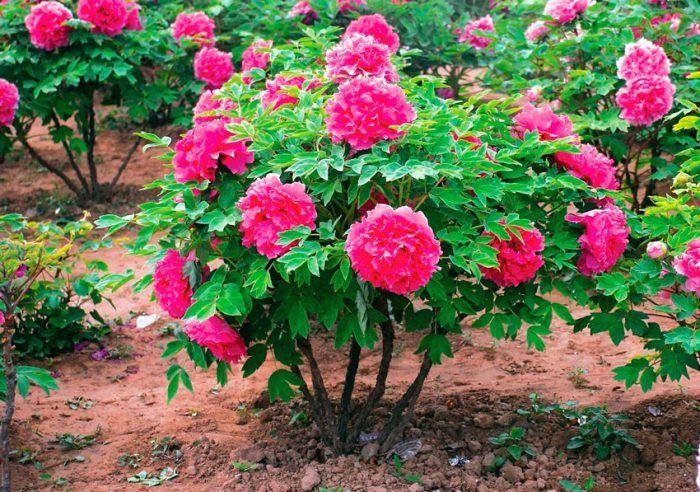 Пионы древовидные   Цветение, Цветы, Цветоводство