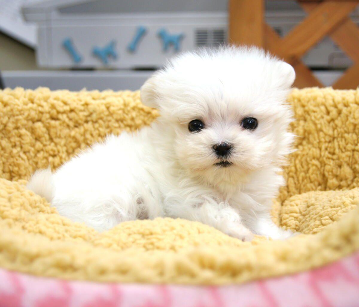 人気犬種マルチーズ 寿命と長生きさせる秘訣とは Peco ペコ 可愛い犬 かわいいペット 可愛いワンちゃん