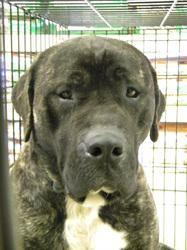 Adopt Duke On Petfinder Dogs Bull Mastiff Animals