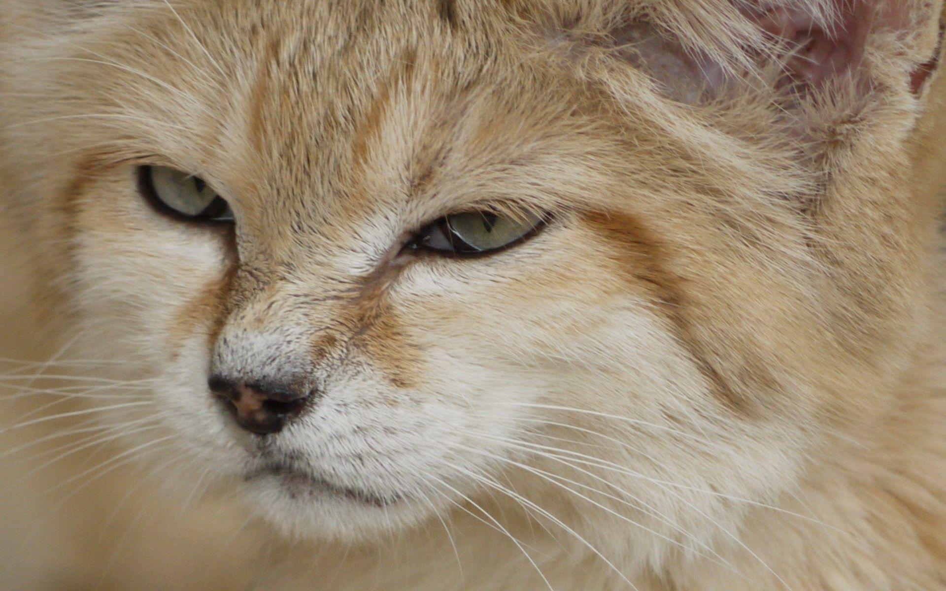 Free screensaver sand cat Sand cat, Small wild cats, Cat