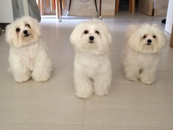 Maltesers On Maltese Dogs Puppies Cute Dogs