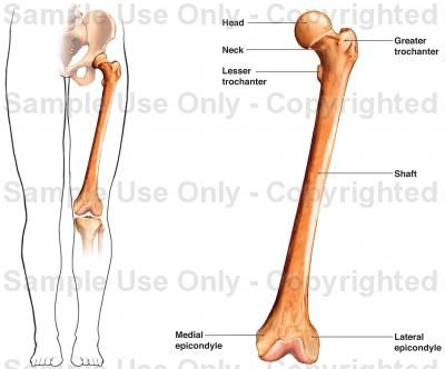 like the femur, the tibia bears much of the body's weight and also, Skeleton