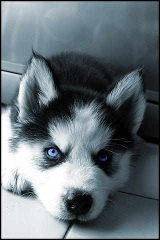 Husky Puppy With Blue Eyes Future Animals Husky With Blue