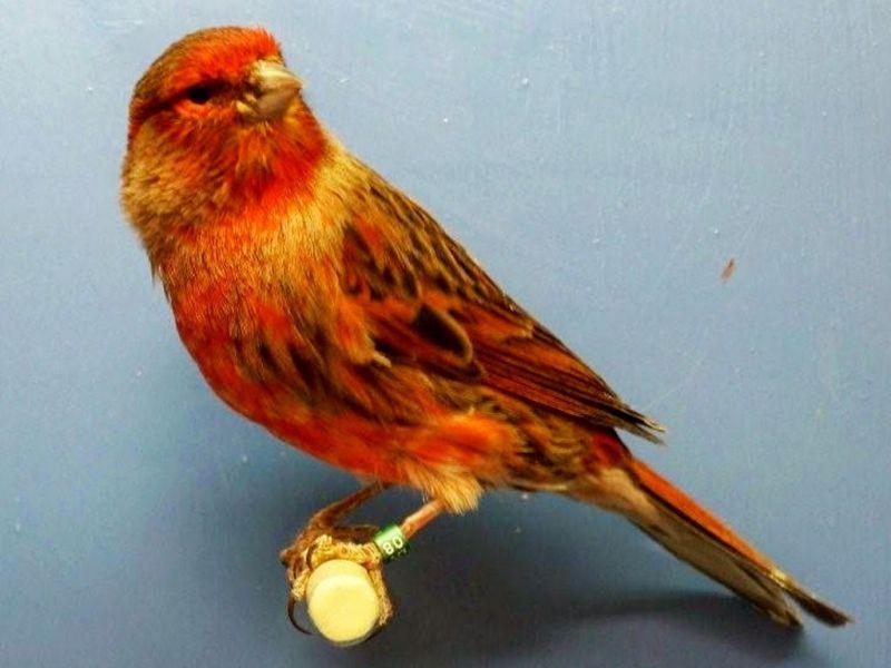 Inilah Jenis Jenis Burung Kenari Yang Paling Banyak Dicari Burung Kenari Burung Cantik