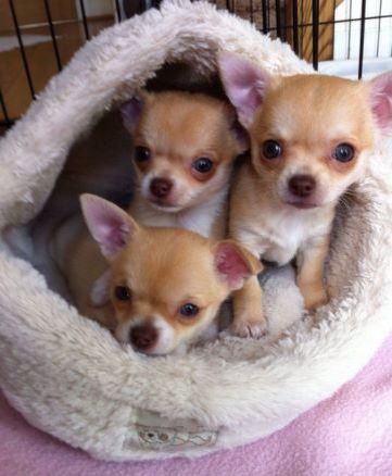 The Top 5 Trainable Dog Breeds Chihuahua Puppies Chihuahua Dogs
