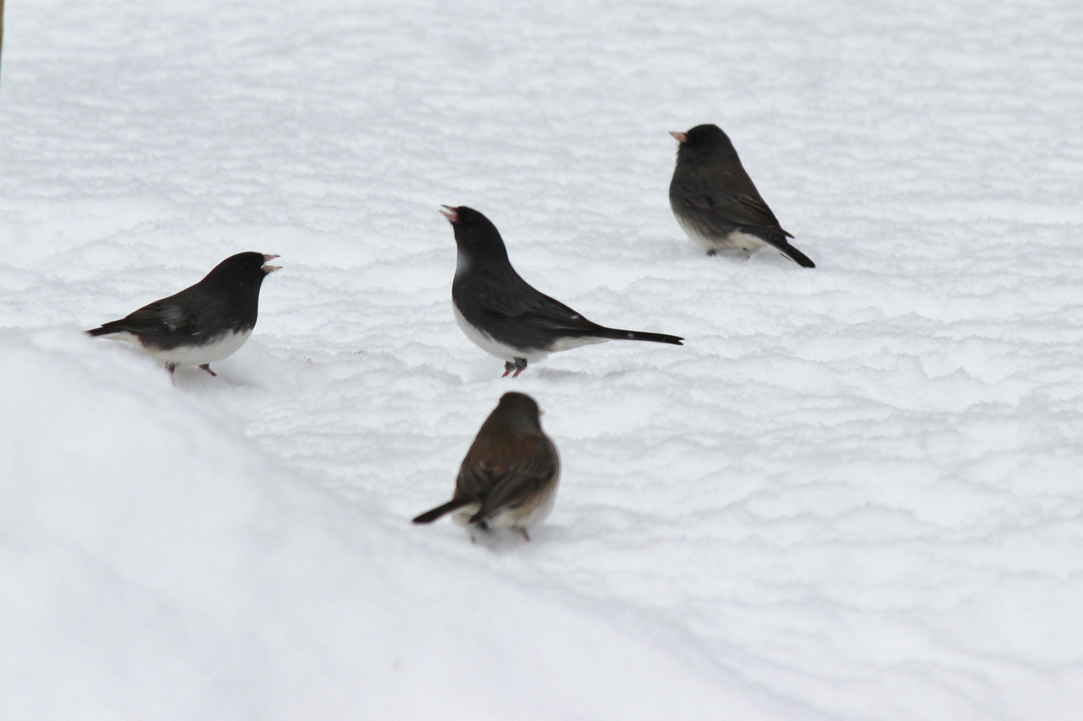 """#WinterinCT"" "" #CenterofCT"".... Center of Ct photo contest.......... Singing in the snow.........."