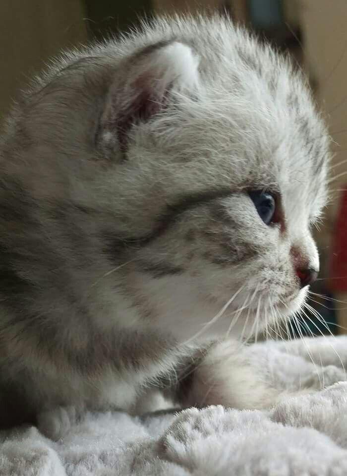 Silver Tabby Kitten 2 Weeks Old Silver Tabby Kitten British Shorthair Cats Cute Animals