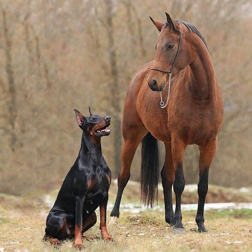 The Doberman Personality In A Nutshell I Just Love This Breed