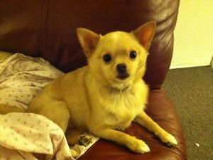 Adopt Jinx On Animals Chihuahua Dogs Animal Shelter