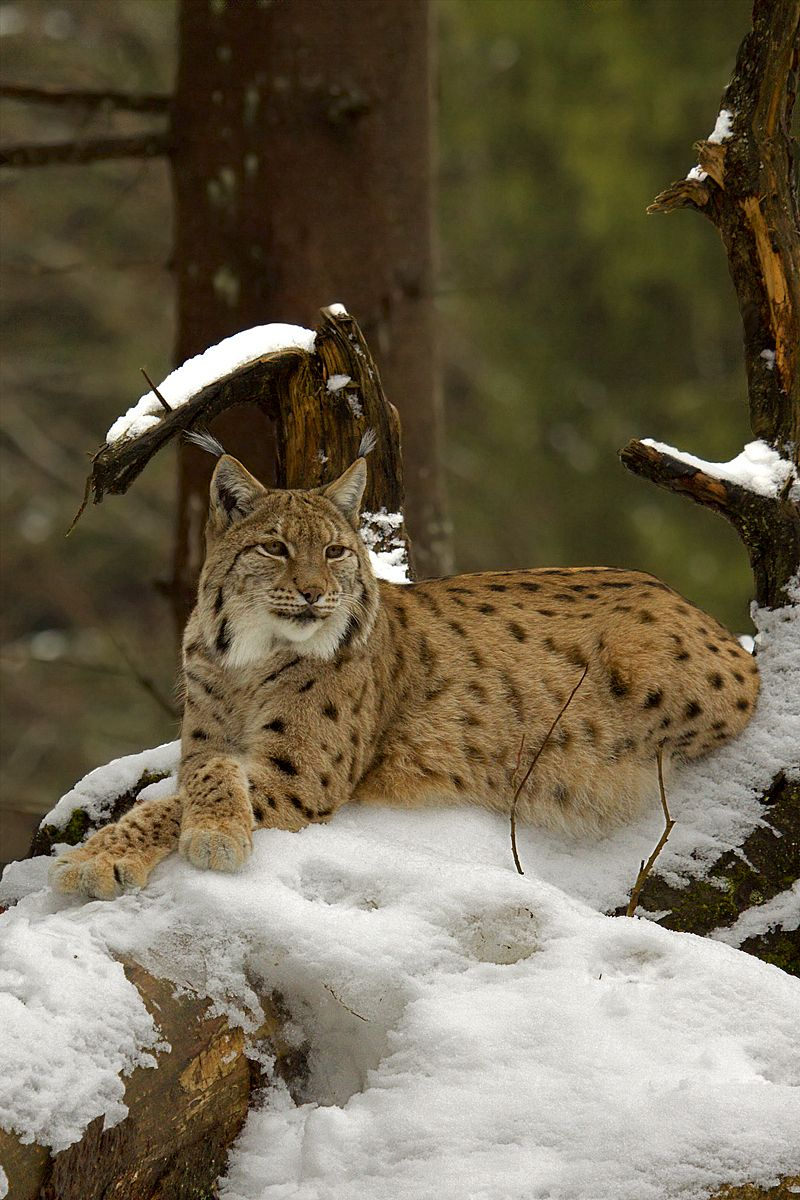 Lince Europea (Linx linx) from Bavarian Forest National