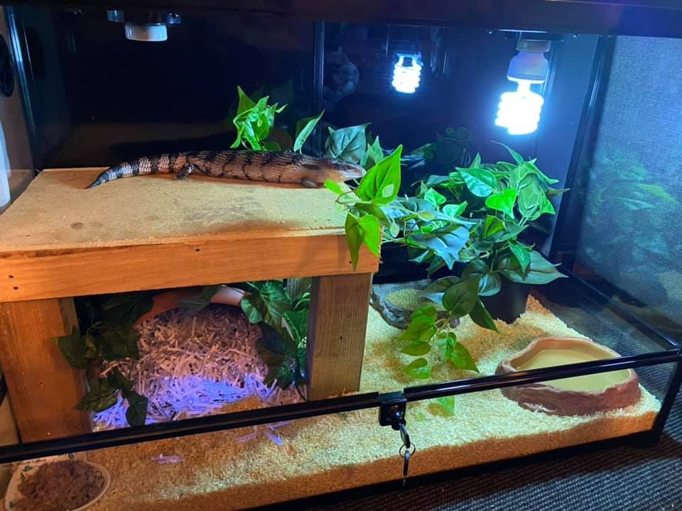 The Pet Enthusiast in 2020 Blue tongue skink, Cute