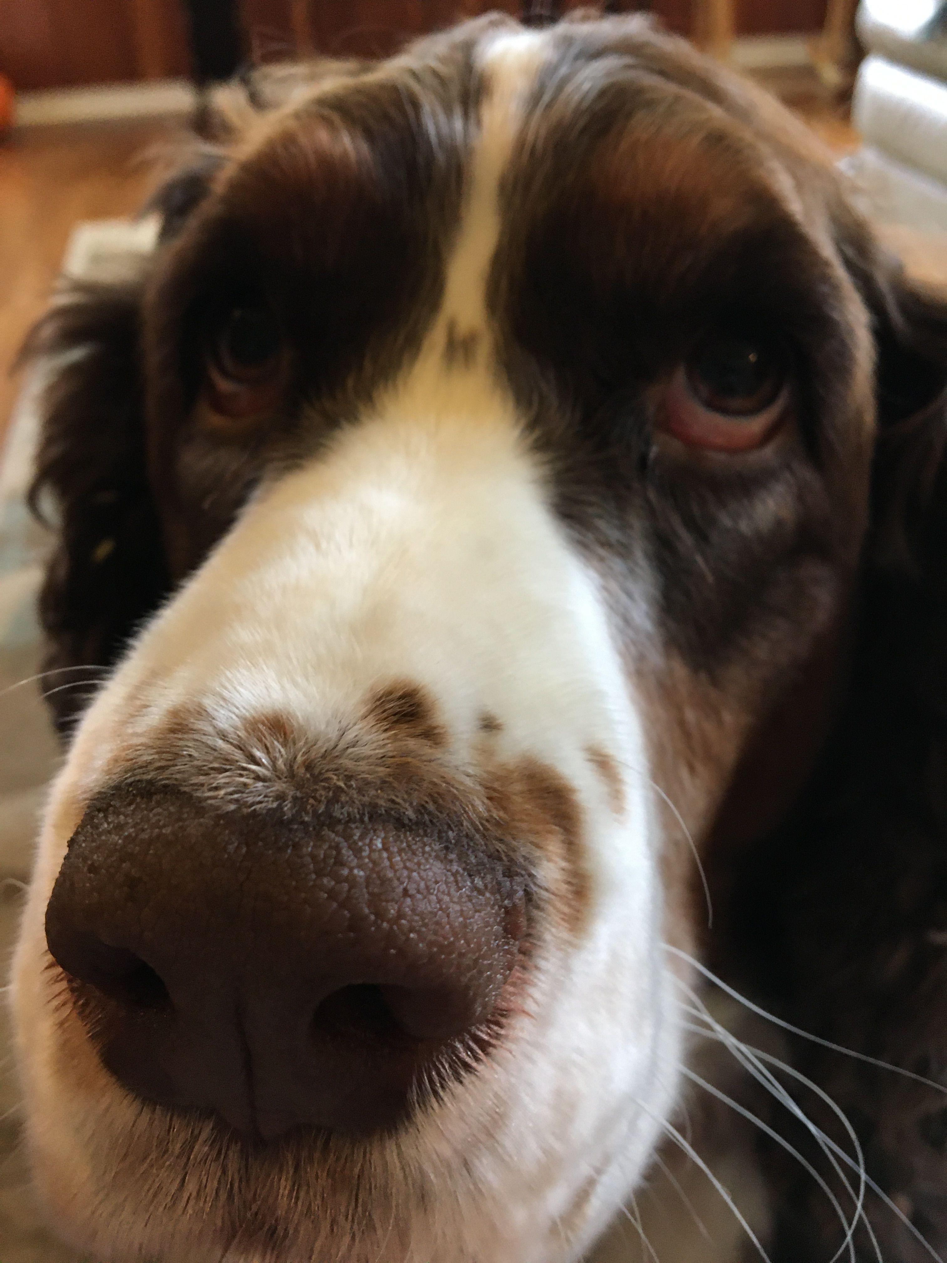 Mojo the springer spaniel dog Spaniel dog, Dogs