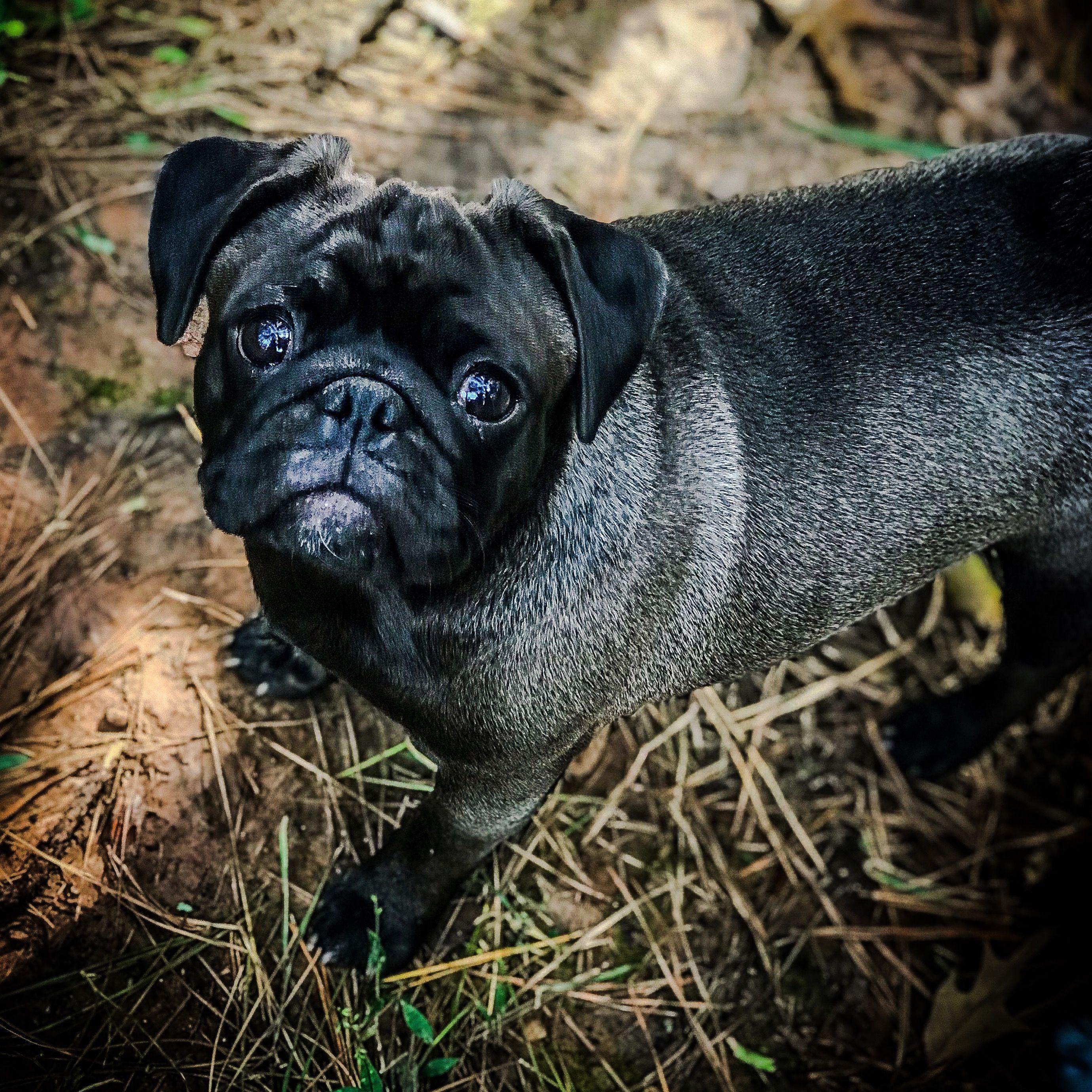 Peeka The Silver Pug In Texas Pugs Cute Animals Animals