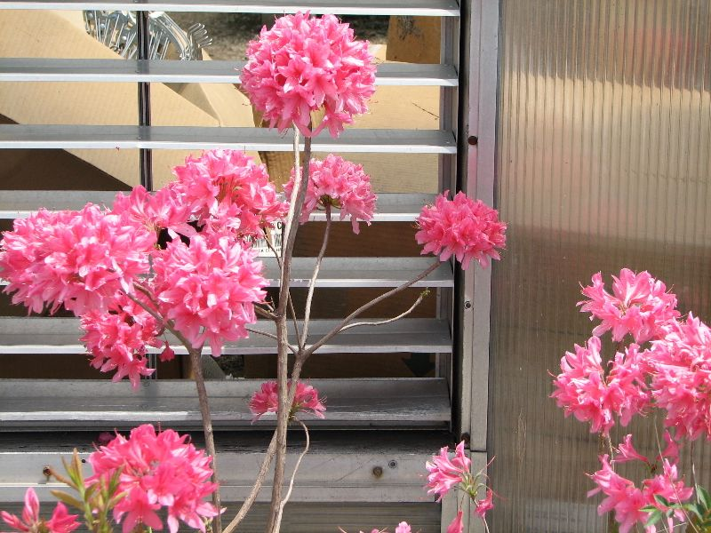 'Rosy Hi-lights' Azalea.  Plant this in front of an evergreen for that WOW factor!
