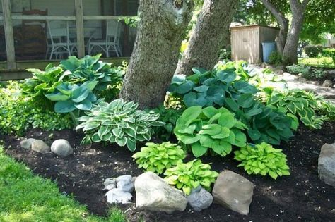 Hostas under trees @Shelley Jacobs by roslyn outdoor Pinterest