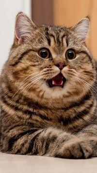 Zaskoczony Bury Kot Tapety Na Telefon Tapeciarniapl Cats