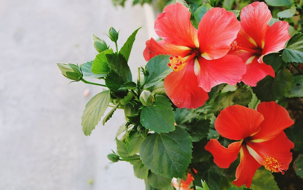 32 Different Types Of Hibiscus Flowers Hibiscus Flowers Hibiscus Flowers
