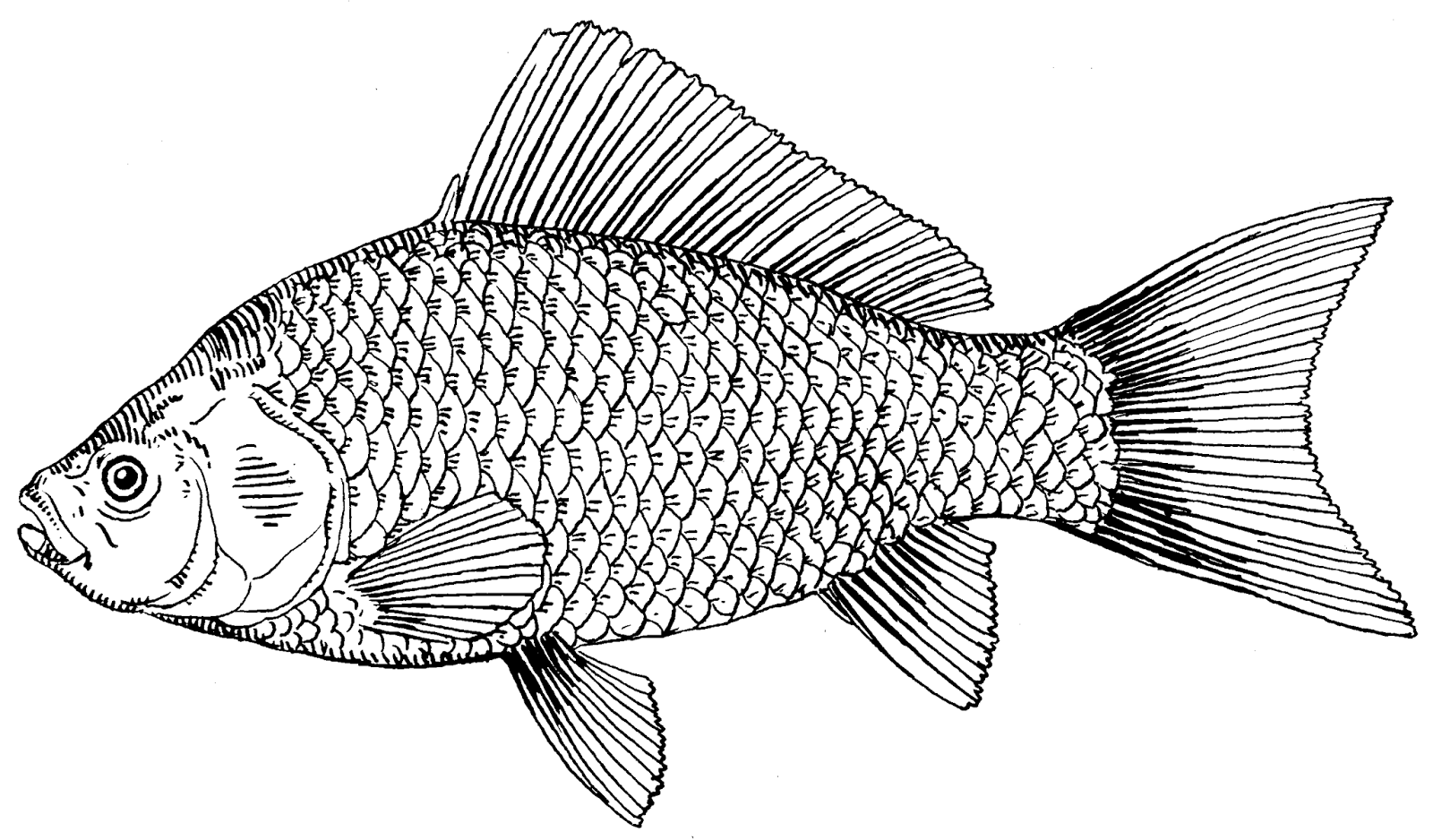Line Drawing Of Fish : Fish drawings wallpapers u free download cute