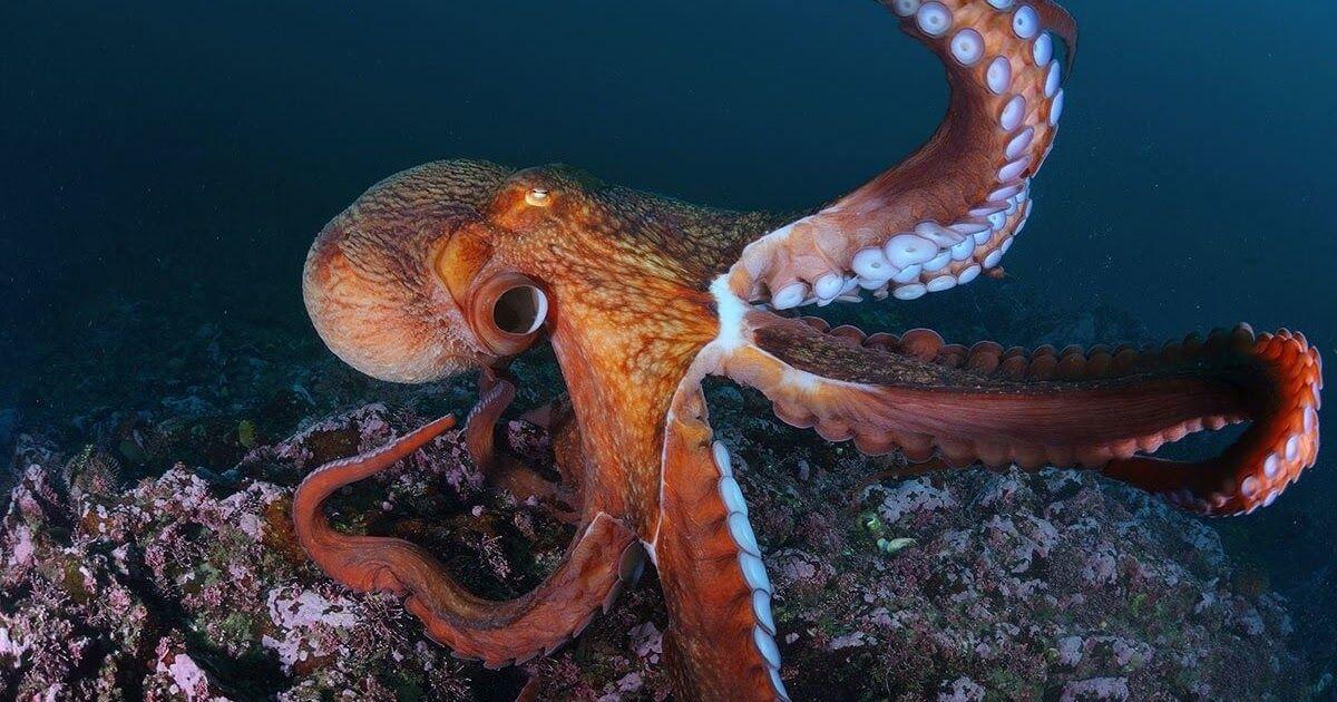 معلومات مثيرة للإهتمام حول الأخطبوط Animals Blog Posts Octopus