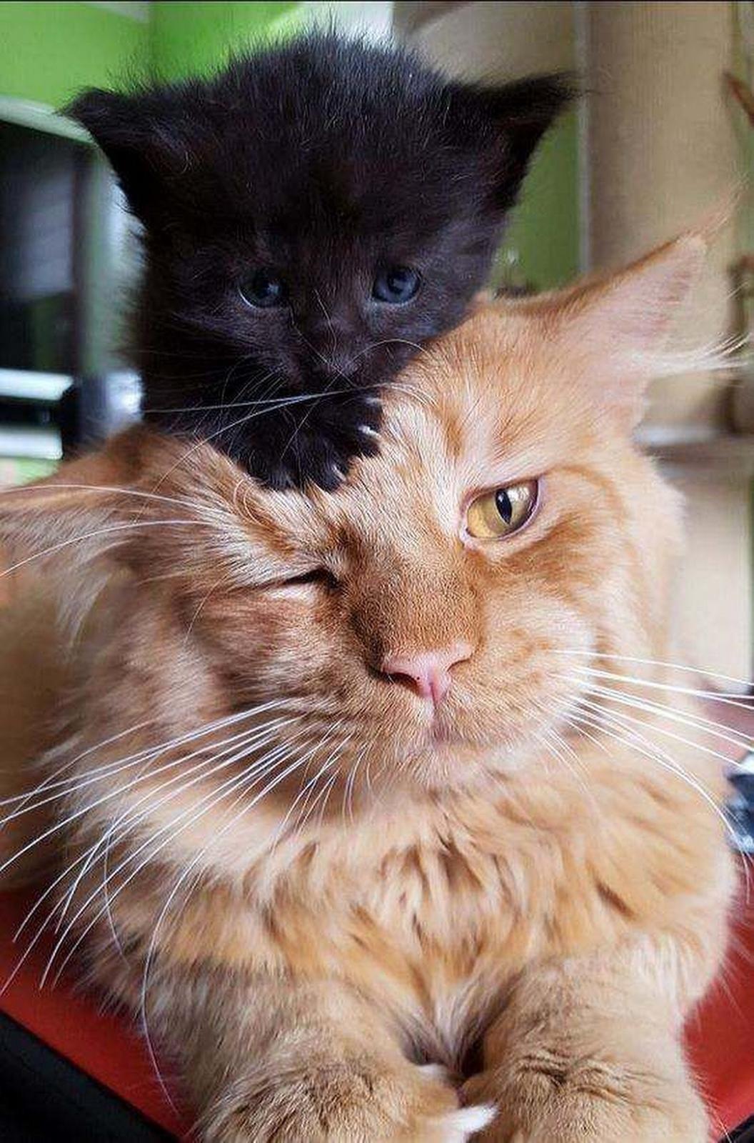 Pin By Sharron Cadogan On Cuteness Cute Cats Cute Cat Gif Cute Animals