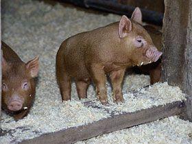 free screensavers free wallpapers pigs pigs pinterest free