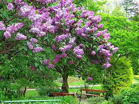 Lilac Tree Lilac Tree Virtual Flowers Flower Garden