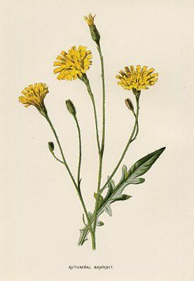 Dandelions Ideas For Design In 2019 Pinterest Botanical