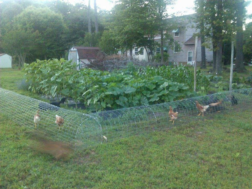 Chickens Garden Run The Best Of Both Worlds Free