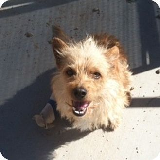 Mesa Az Cairn Terrier Mix Meet Beckham A Dog For Adoption