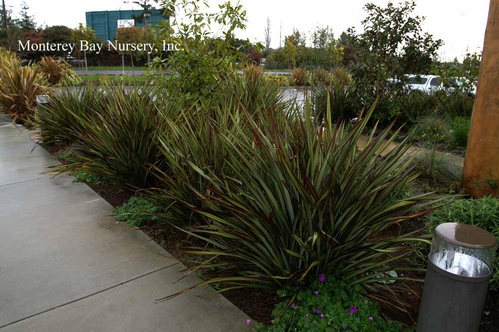 Phormium Surfer Plants Landscape Design Front Garden