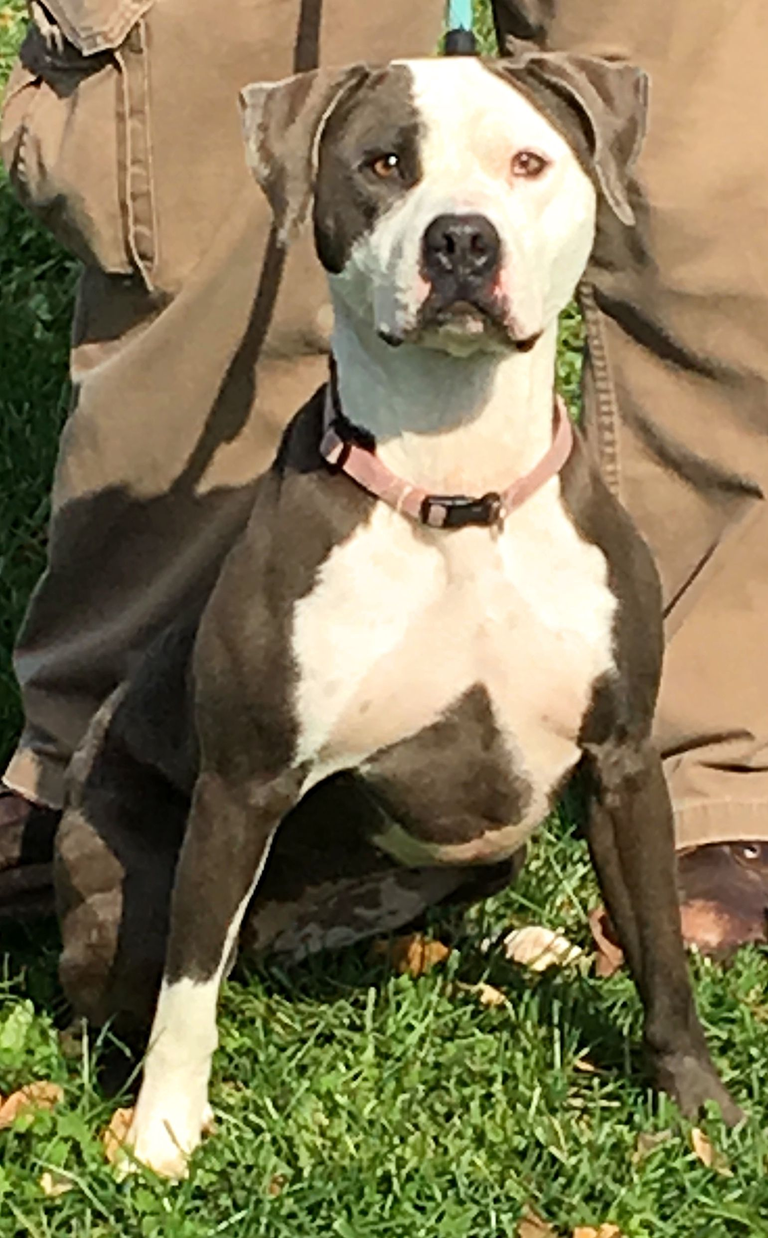 Adopt Storm On Pitbull Terrier Rescue Dogs Dogs