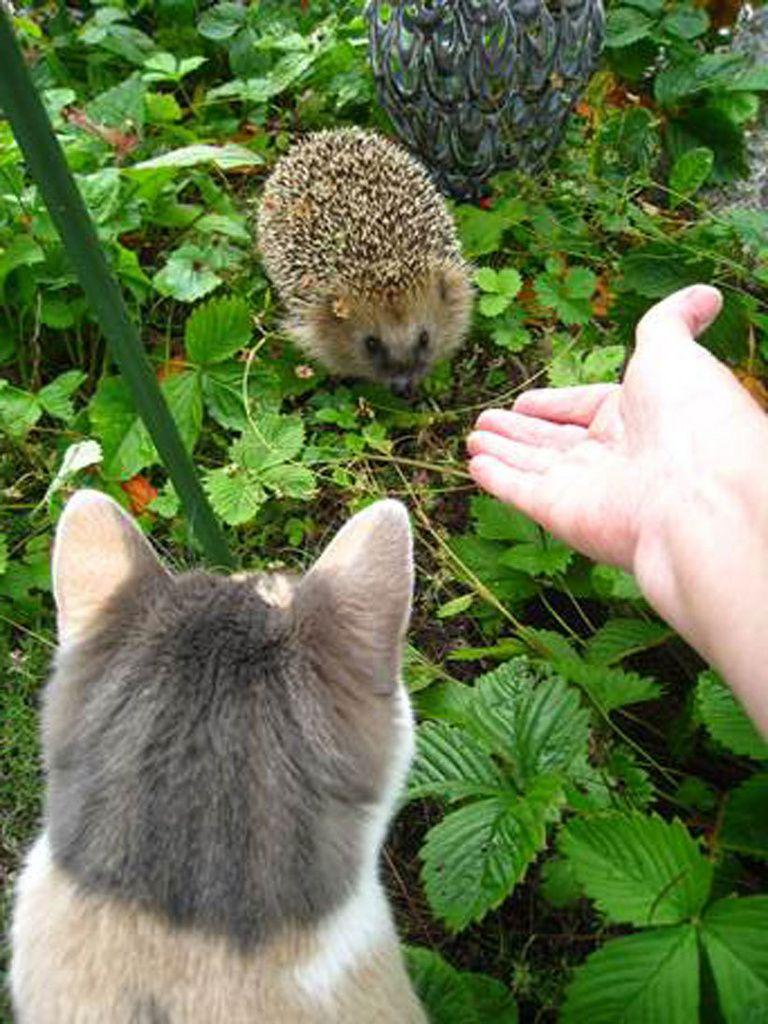 Kissa ja siili