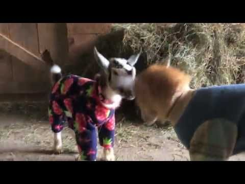 Goat Babies In Pajamas Animals Of All Sorts