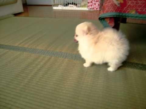 仔犬らしく動きまわる 生後47日目 ポメラニアン女の子 ポメラニアン 子犬 動物 かわいい