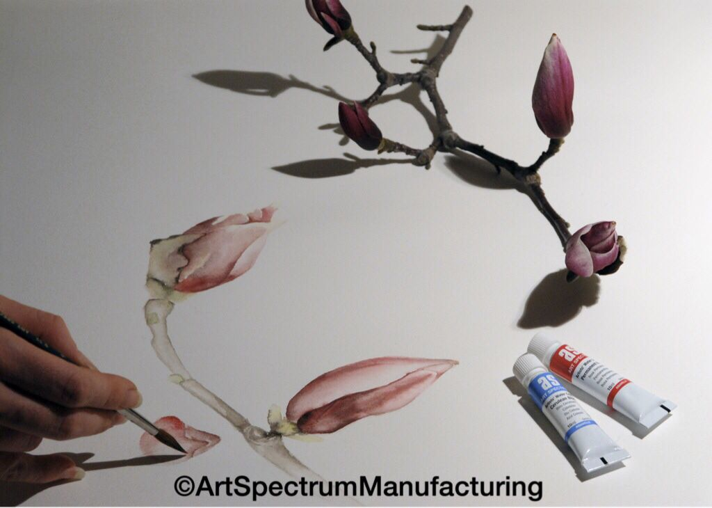 Art Spectrum watercolours capturing the delicate colours of the magnolia bloom...