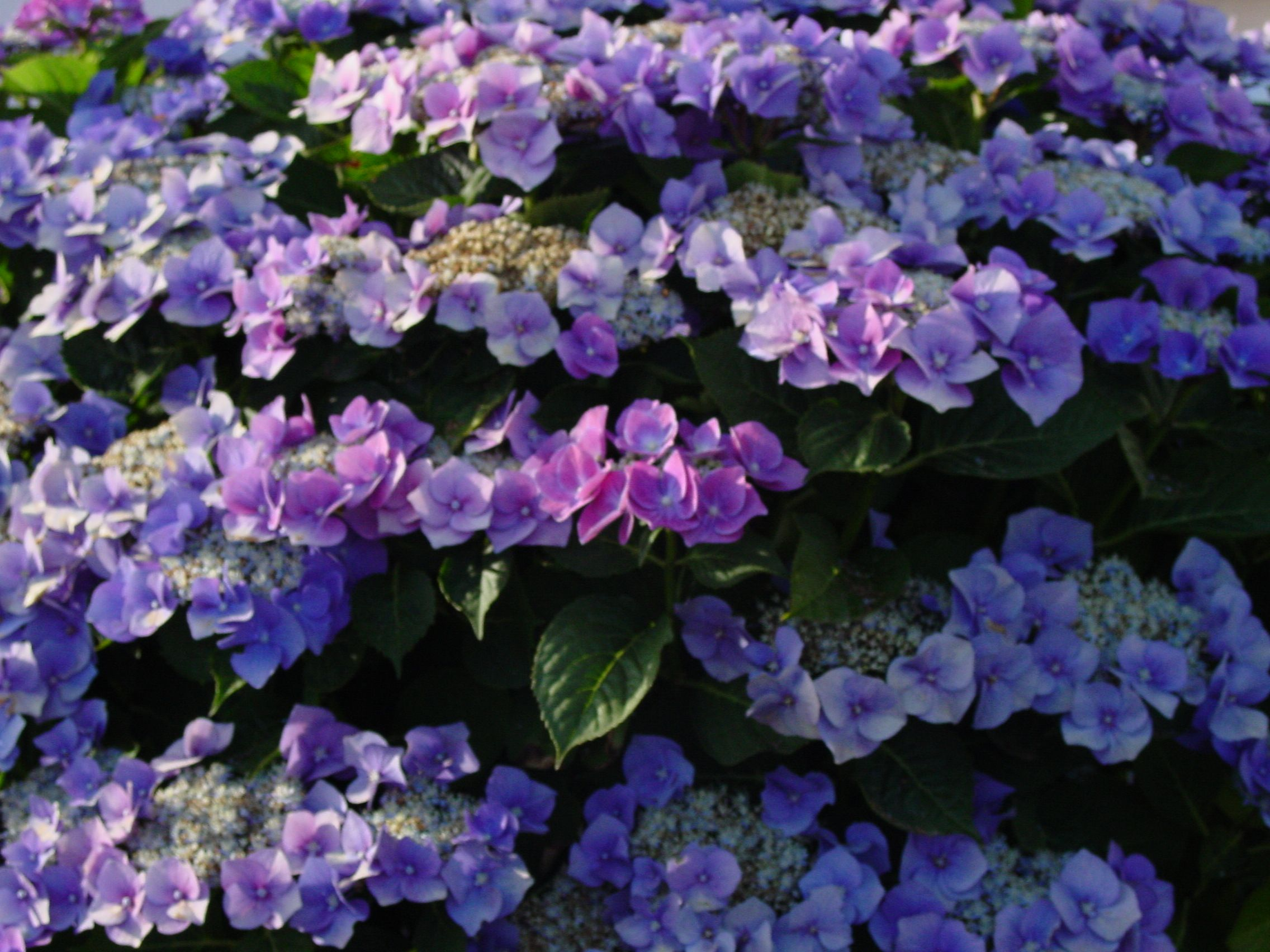 Hydrangea Bushes If You Put Coffee Grounds At The Base It Will Change