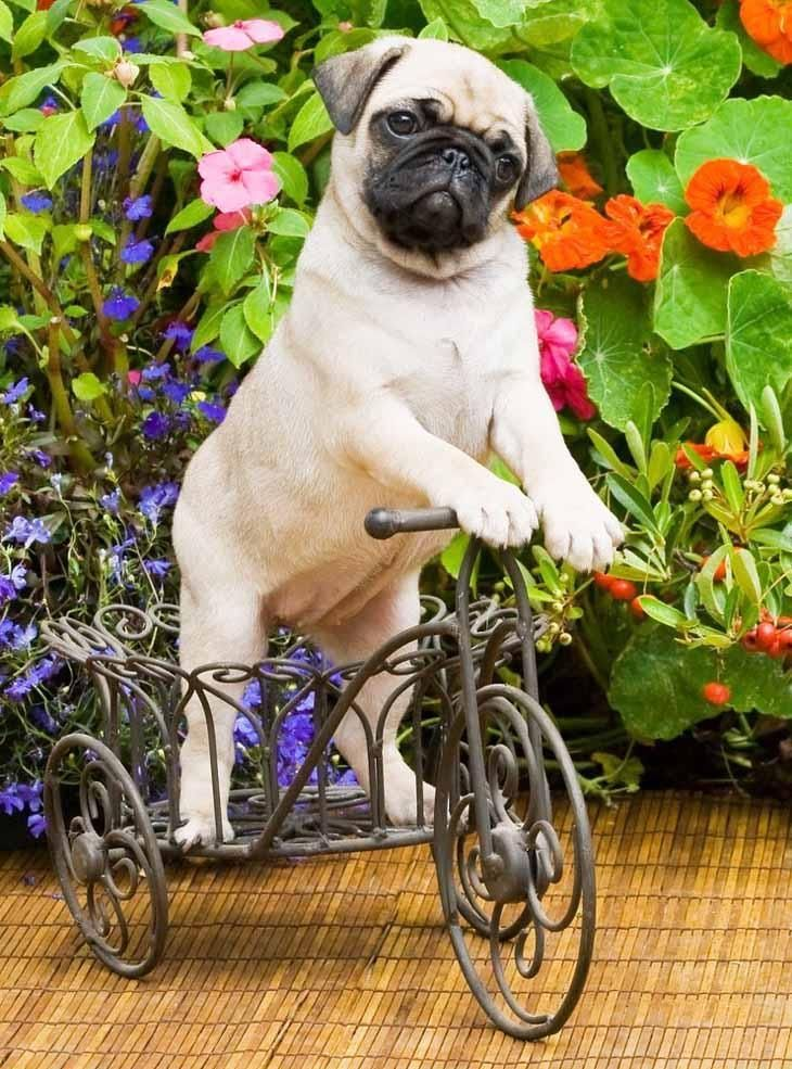 These Funny Pug Pictures Are Doggone Cute Cute Pugs Funny Pug
