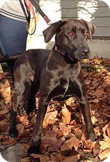 Adopt A Pet Rambo Vancouver Bc Labrador Retriever Mix