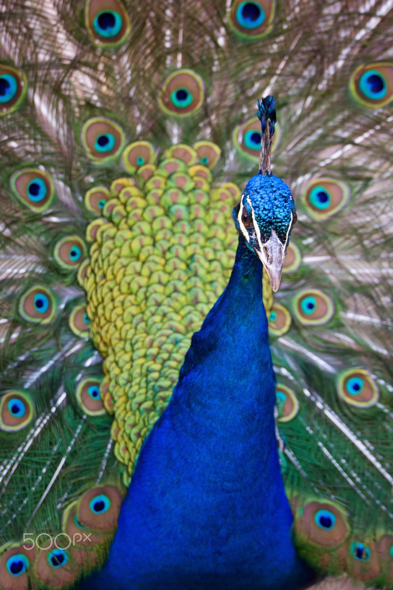 """Peafowl (Pavo cristatus) - Lovely coloring male <a href=""""https://www.facebook.com/OndrejChvatalFotograf/"""">Facebook</a> / <a href=""""https://www.ondrejchvatal.cz"""">Ondrej Chvatal</a>"""