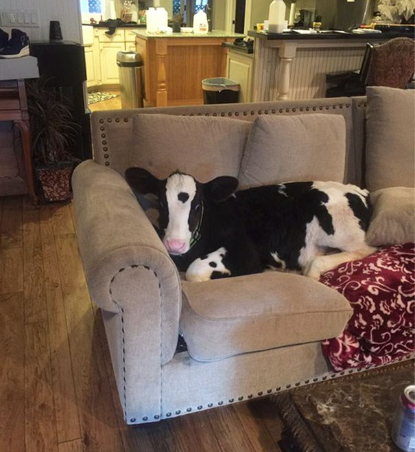 19 Reasons Why Cows Are Basically Just Really Big Dogs - I Can Has Cheezburger?