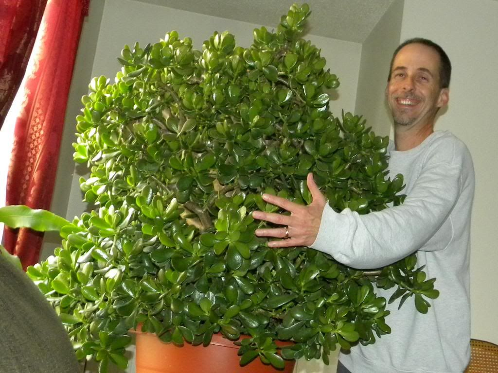 Image result for Jade plant